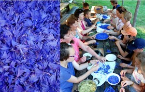 """Dviejų dienų praktinis seminaras """"Laukinių augalų pažinimas. Įvairus jų paruošimas sveikatai ir grožiui"""""""